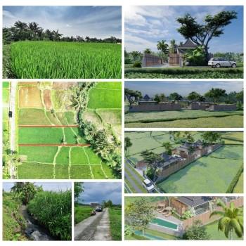 Sawah Murah 800 Ribu Kawasan Desa Wisata Bokesan Sindumartani Ngemplak Sleman